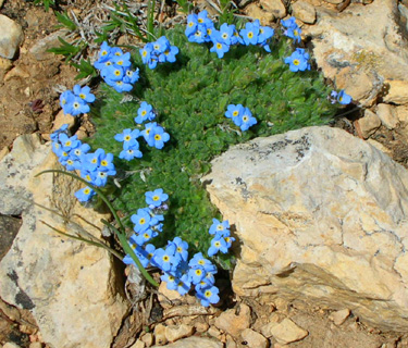 Another Common Low Growing Cushiony Plant In The Tundra Is Alpine Phlox Its Five Petaled White To Light Colored Blue Flowers Crowd Together On Top