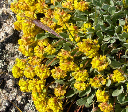 Sues at journal plants i saw at about 13000 feet on mt massive after i uploaded the july 31 entry the first is a low cushiony succulent covered with yellow flowers mightylinksfo