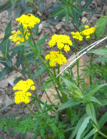 Numerous Wildflowers And Shrubs Are Blooming Now Including Several Types Of Perky Yellow Daisies Asters Spring Gold